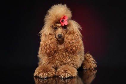 auburn colored toy poodle laying down with a red flower in her hair