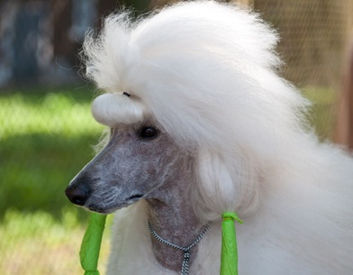 pretty white standard poodle with green ribbons in its ears