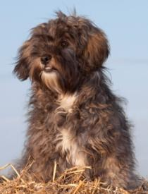 shih tzu poodle mix chocolate brown and cream shihpoo sitting down