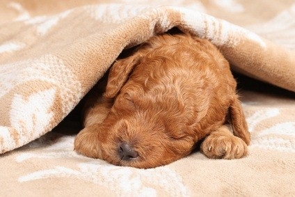 auburn poodle puppy asleep under a blanket
