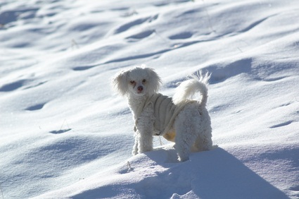 cute white toy poodle playing in the white snow