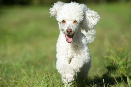 adorable white toy poodle smiling as he runs and plays outside in the green grass
