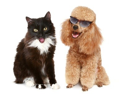 black and white cat sitting beside an auburn poodle with glasses