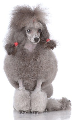 silver standard poodle sitting down with its long ears in red bands to make ponytails
