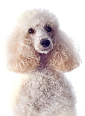 adorable white miniature poodle looking pensive