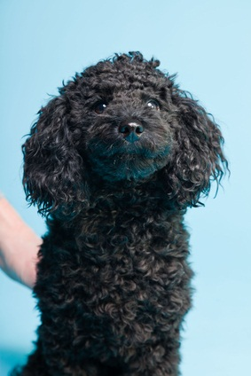 black toy poodle puppy learning how to sit