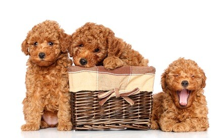 three auburn colored poodle puppies with a basket