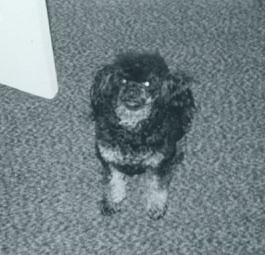 black and silver poodle Holly sitting on carpeting
