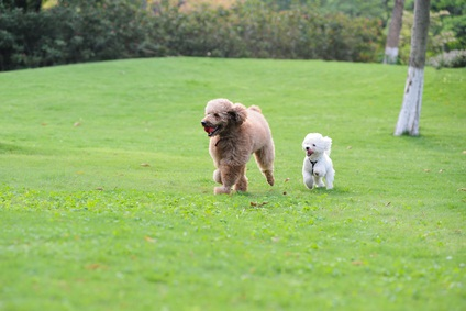 two poodles