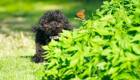 cute black toy poodle puppy playing with a butterfly in a green bush