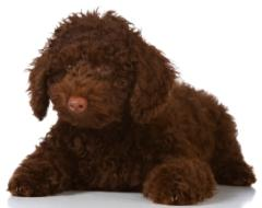 chocolate miniature poodle puppy laying down
