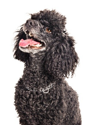 black poodle sitting down with a silver collar on