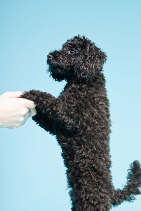 black toy poodle baby standing on her back hindlegs supported by her owner