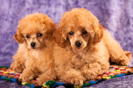 two apricot colored toy poodles who are puppies laying on a crocheted colorful afghan