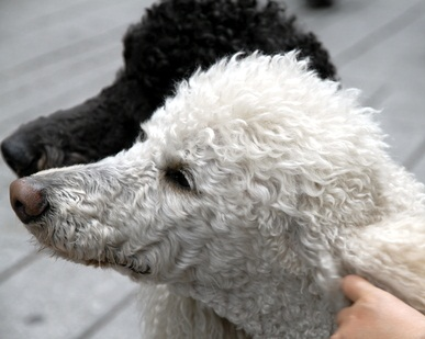 one black and one white standard poodles