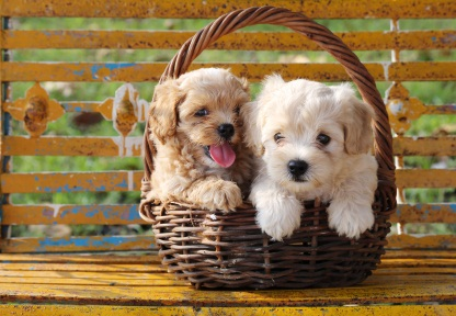 one cream colored and one white poodle puppies in a brown wicker basket