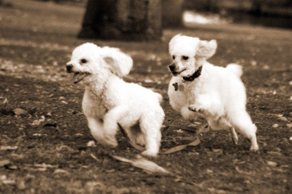 two toy white poodles having fun playing and running after each other