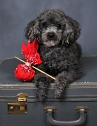 vacation with your pet black toy poodle with a silver nose laying on a suitcase