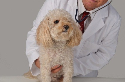 cream colored toy poodle getting a checkup with the veterinary clinic