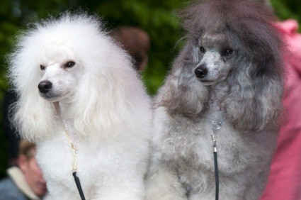 one white and one silver toy poodles