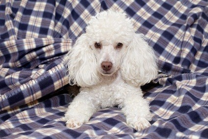 cute white toy poodle laying on a blue and white plaid blanket