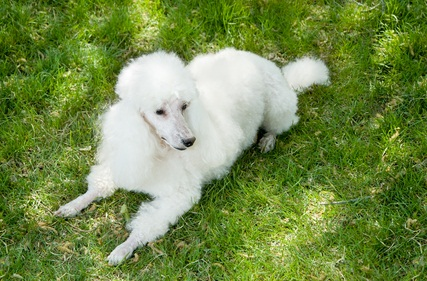 white miniature poodle laying down in the green grass as the sun shines