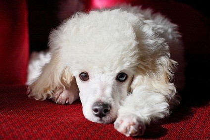 puppy white miniature poodle laying on a maroon chair