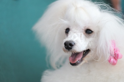 white toy poodle with a pink ribbon in her hair