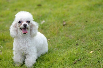 cute white poodle sitting outside in the grassy yard