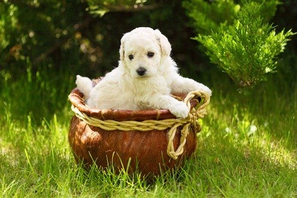 white standard puppy playing in a ceramic basket with a ribbon bow in the yard on green grass with the sun shining