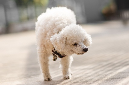 white toy poodle stretching in sunshine