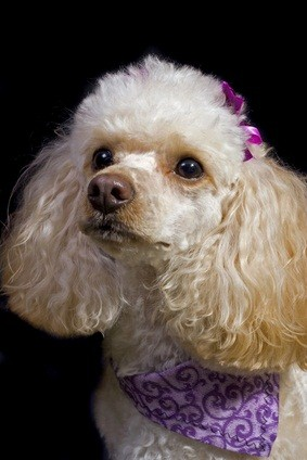 white toy poodle with a purple bow in her hair and a light purple scard with a dark purple design on it