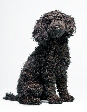 cuddly and curly black poodle sitting