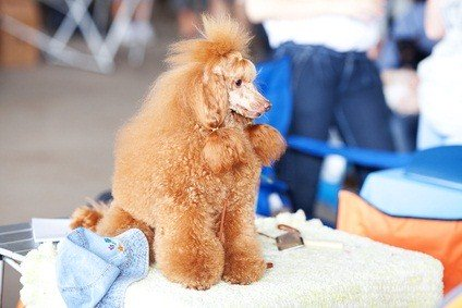 apricot poodle sitting on a table at a dog show
