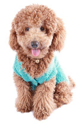 apricot colored poodle puppy sitting down with a teal blue sweater on
