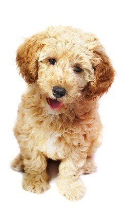 cute miniature poodle puppy auburn in color sitting down