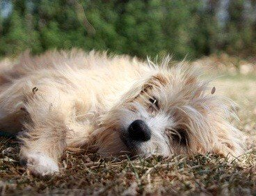 aussiedoodle puppy laying on the grass outside