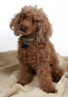 brown poodle puppy sitting down