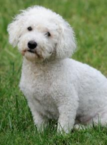 bichon frise poodle white poochon sitting in the green grass