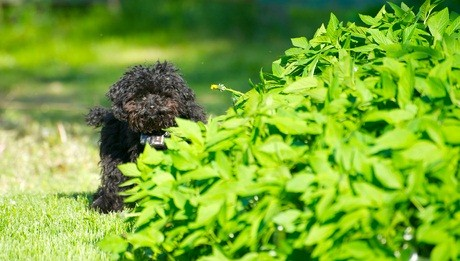black toy poodle pup outside on the grass beside a green bush