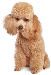 apricot poodle puppy sitting down