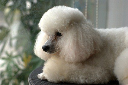 beautiful white toy poodle sitting on a chair looking out the window
