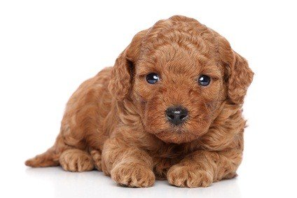 red poodle puppy staring intently as he lays on the floor