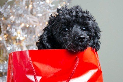 black miniature poodle puppy in a red Christmas gift bag