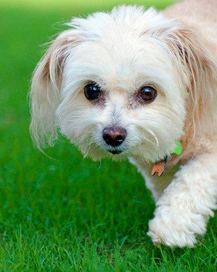 white maltipoo dog walking in the green grass