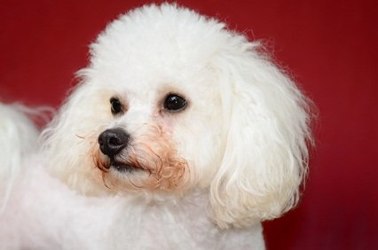 white bichone frise poodle mix dog