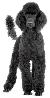 black royal standard poodle standing up