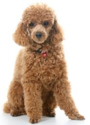 brown toy poodle sitting down