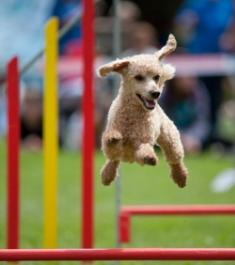 dog show events cream colored toy poodle jumping