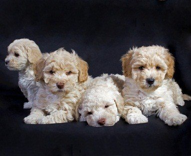 four white with brown ears maltiepoo puppies